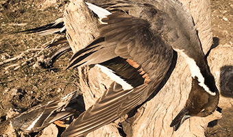 MEXICO WATERFOWL AND DOVE
