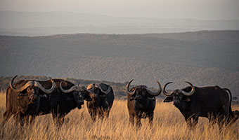 SOUTH AFRICA CAPE BUFFALO