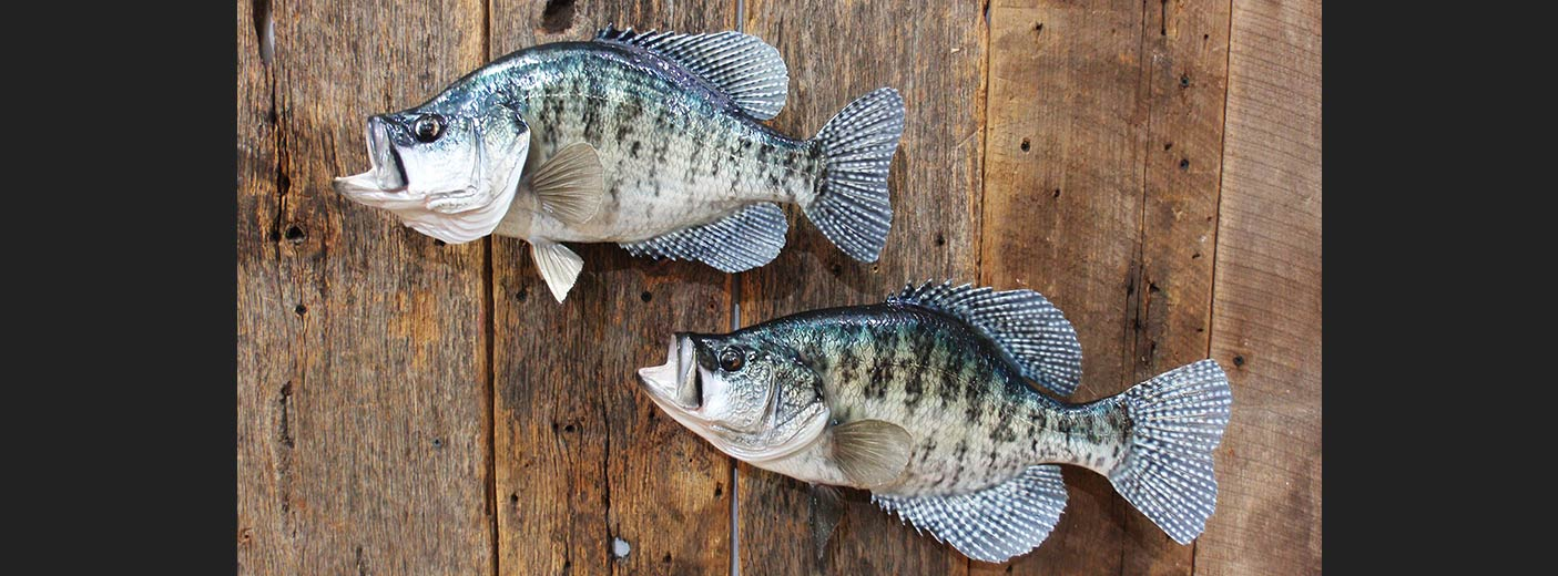 White Crappies